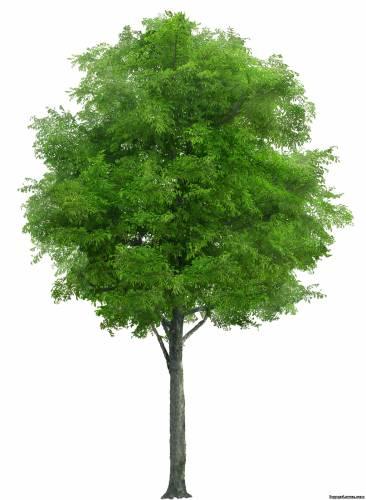 Фотоальбом тема деревья ясень ясень