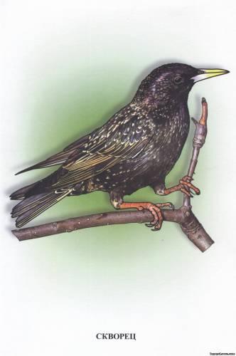 Птицы перелётные птицы скворец